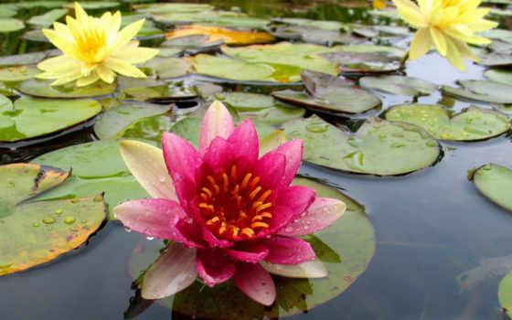 water, цветы, lily, природа, pond, растения, lilies, desktop, пруду, кувшинки, картинку, картинка,