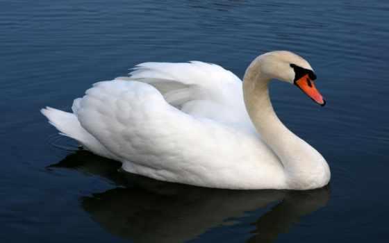 лебедь, плавает