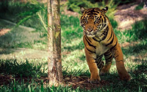 тигр, animals, саванна, animal, cute, животные, best, planet,