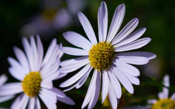photos, michaelmas, flickr, tagged, images, stock, london, daisy, shutterstock,