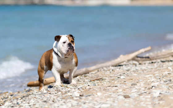 bulldog, inglese, sfondi, stock, bulldogs, royalty, free,