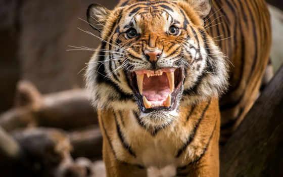 ухмылка, тигр, рык, злой, тигра,