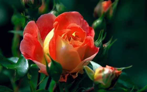 макро, роза