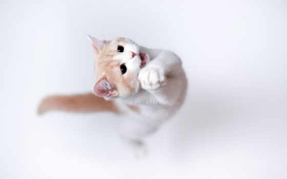 кот, прыжке, кота, лапки, котенок,