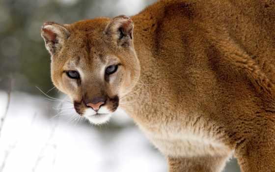 cougar, puma, animal