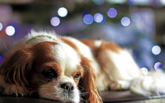 взгляд, нравится, страница, огни, собака, christmas, щенок, собаки, боке, праздники,