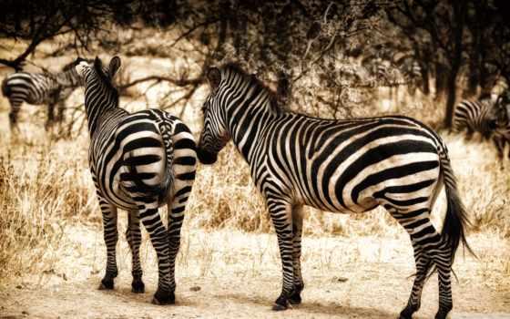zebra, дешевые, aliexpress, краска, дома, краски, низким, calligraphy, товар, сада,