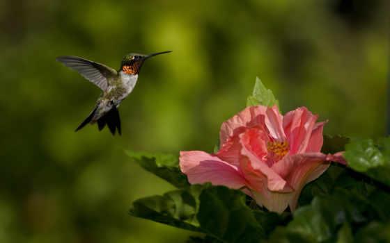 flor, beija, rosa, parede, колибри, pssaro, foco, alcatel, verduras, natureza, baixar,