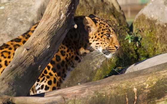 леопард, leopards, леопарды,  animals, hintergrundbild, tapetes,