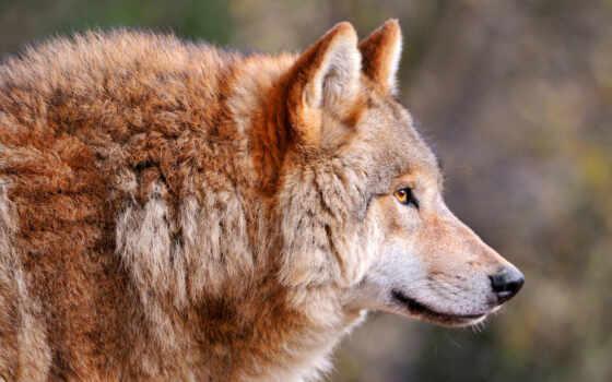 волк, long, волки, browse, страны, язык, облизываться, хищник, that, страница,