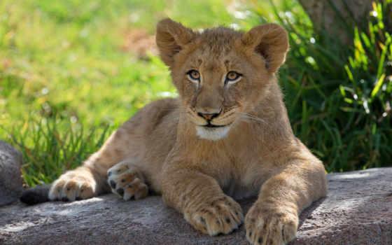 биг, cats, lion, заставки, качай, детёныш,