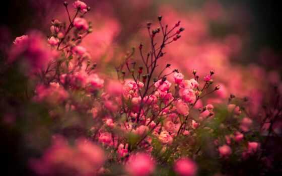 цветы, роза, взлёт, розовый, природа, цветение, букет