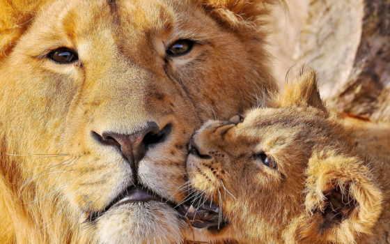 львица, детёныш, lion