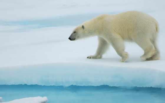 polar, медведь, id, animal, size, uploaded,