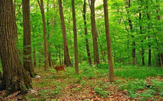 лес, яndex, коллекциях, зелёный, пользователя, коллекция, косулей, природа,