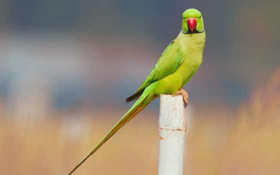 зелёный, попугай, images, parrots, птица, free,