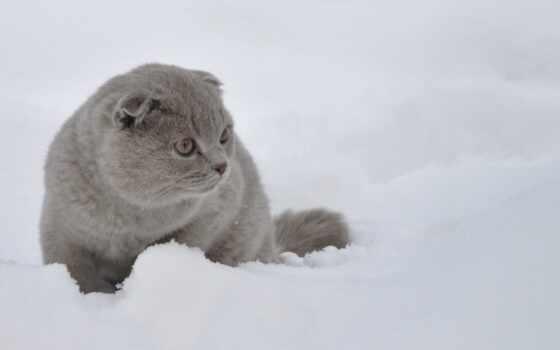 кот, scottish, фолд, снег, пост, палуба, вислоухий