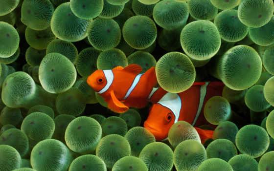 рыбы, fish, клоун