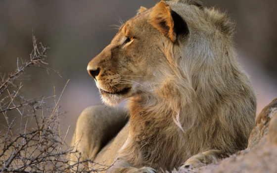 lion, het, park