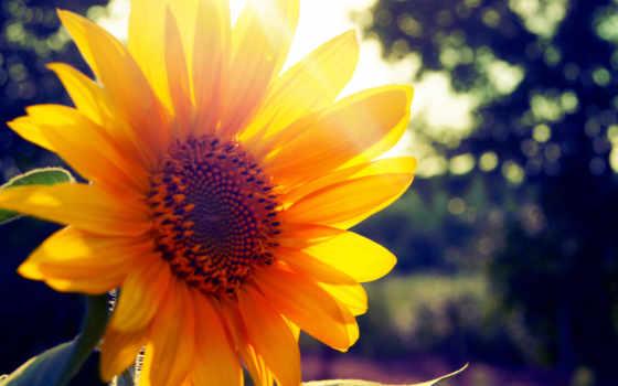 summer, подсолнух, солнечный