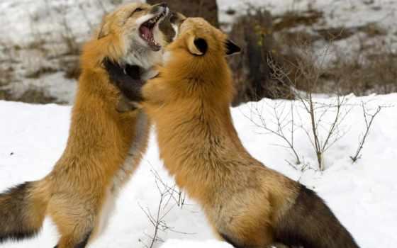 фокс, шерсть, winter, зубы, pair, tail, пасть,