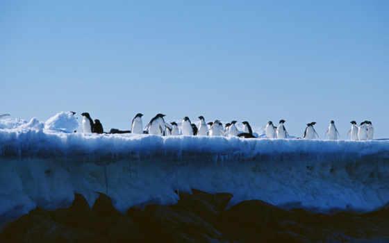 пингвины, птицы, ocean, fonwall, телефон, nest, птенцы, сугробы, arctic, снег,