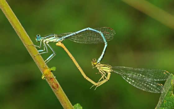 стрекозы, сердце, креатив, насекомое, насекомые, fioletovayautka, полет,