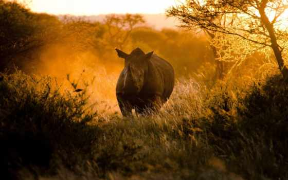 носорог, zhivotnye, африка