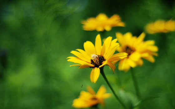 flores, amarillas, campo