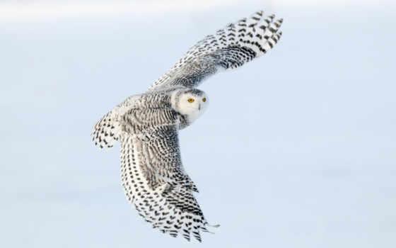 сова, снежная, крылья, полете,