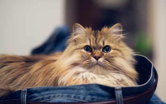 кот, персидская, кошек, порода, кошки, torode, животных,