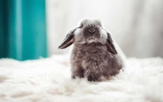пушистый, кролик, zhivotnye, картинка, кролики, грызуны, малыш, красивые, изображение, spitfire,