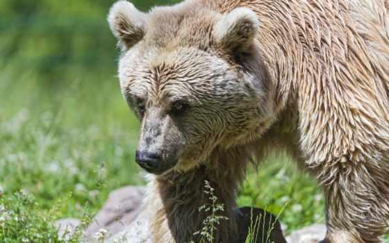hintergrundbild, kostenlos, kostenlose, besten, für, ihren, desktop, hoher, медведь, auflösung,