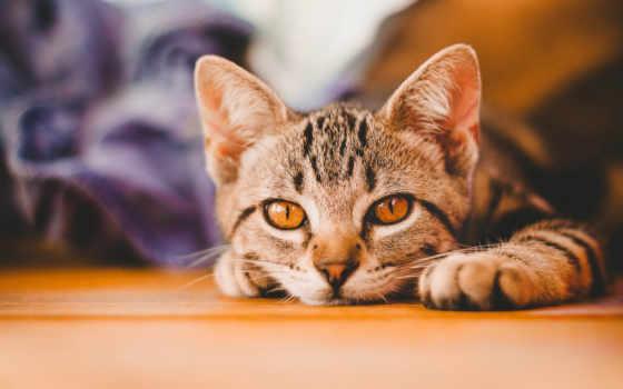 кот, domestic, порода, images, short, striped, высокого, бенгальский, animals,