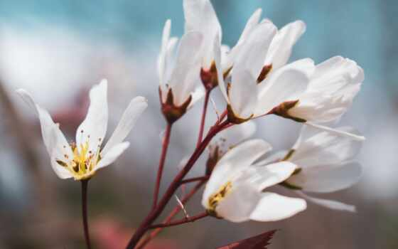 весна, цветы, white, color, лепестки, природа, фото, bloom, public, domain, blue