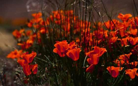цветы, красные, маки