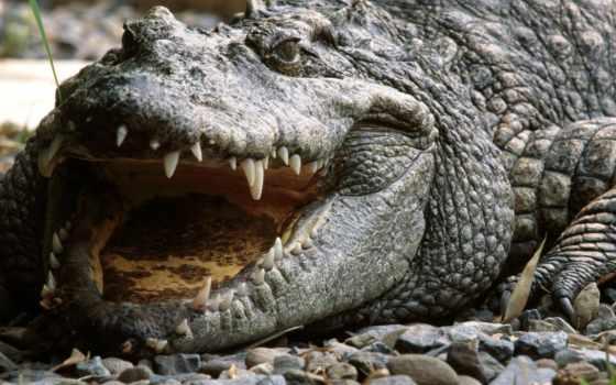 крокодил, photograph
