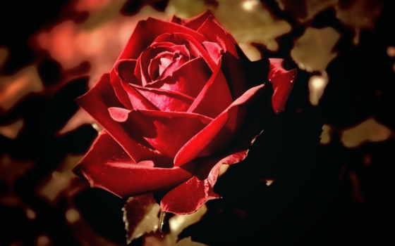 js, фото, роза, красная, raffaella, фотографий, вишиті, слову,