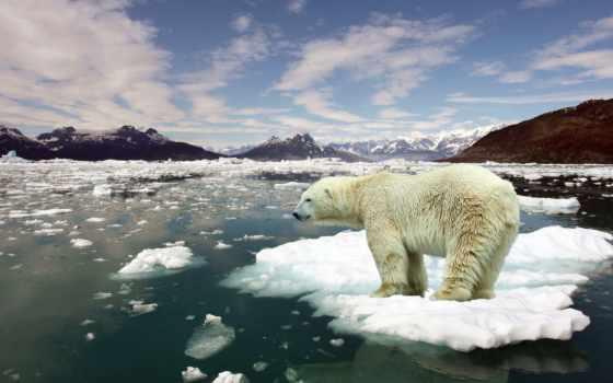 arctic, white, медведь, снег, winter, лед, зверь, иней, арктику,