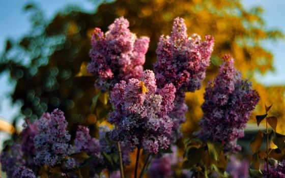 сиреневый, цветы,