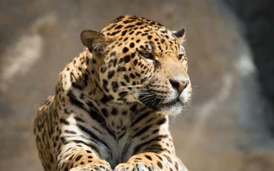 картины, jaguar, модульные, рублей, бесплатная, россии, доставка, купить, интернет,