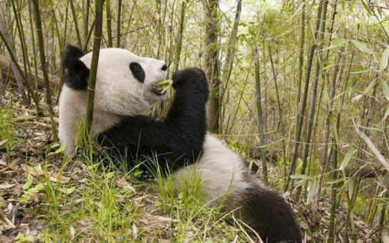 панда, бамбук, панды, разрешениях, разных, едят, кушает,