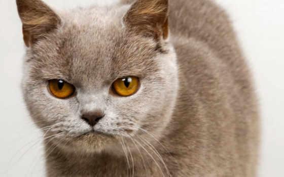 кот, кошки, british