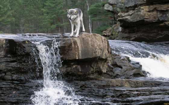 волк, grey, история, desktop, волчья, free, волки,