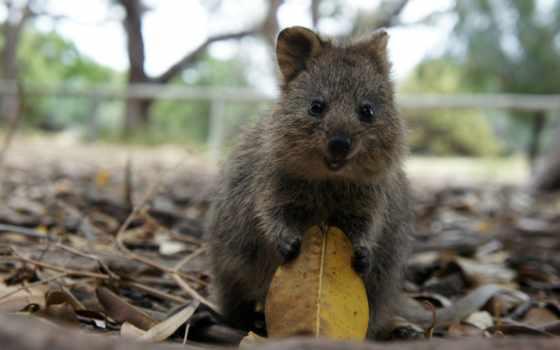 квокка, zhivotnye, австралии, которые, самое, животных, коллекциях, яndex,