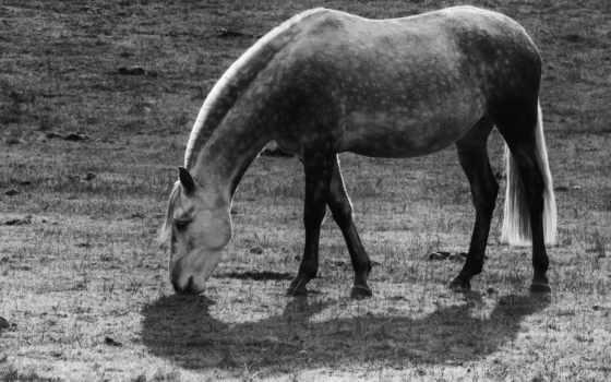 stallion,