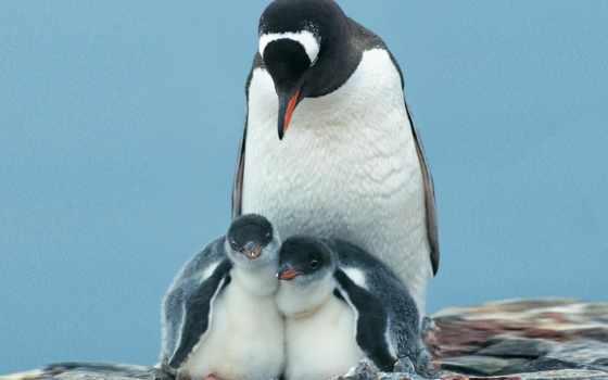 emperor, пингвин, blue