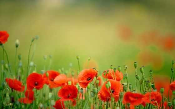 маки, цветы, лепестки