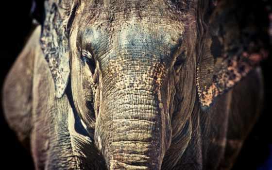 слон, full, хищники, online, картинка, качестве, ствол, хорошем,