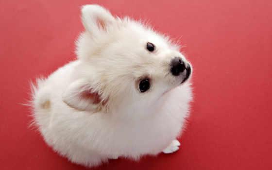 белая, собака, собаки, шпиц, сверху, пушистая, взгляд, фотографий,